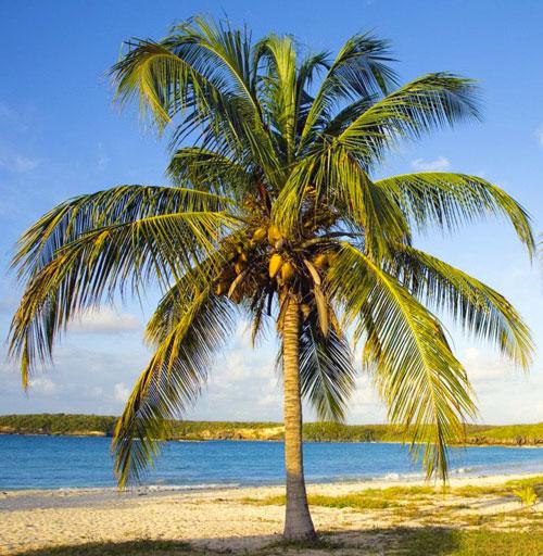 Пальма с кокосом